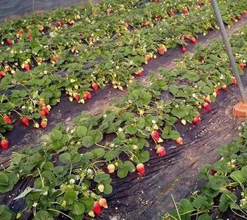 贵阳摘草莓2