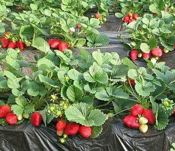 贵阳摘草莓
