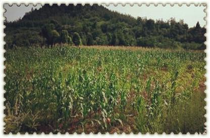农村玉米地高清摄影图片 玉米地田园风光图