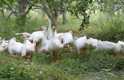 促现代畜牧业加快发展的-林地养鹅