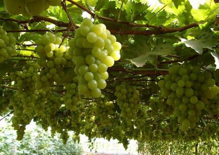2017年葡萄价格行情种植前景分析