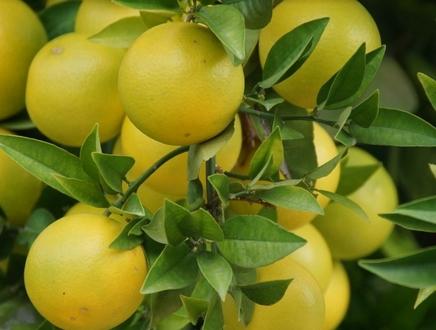柚子种植前景怎么样?成本和利润是多少?