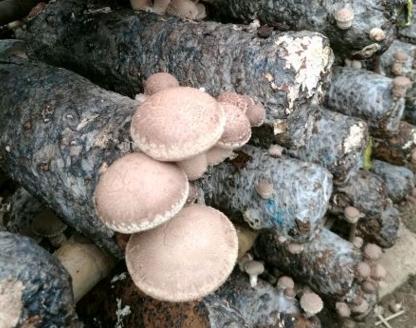 香菇种植成本要多少?效益前景好吗一袋能赚多少钱?