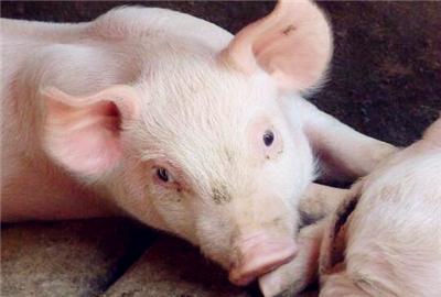 最近生猪价格下跌的原因是什么?2017年下半年生猪行情预测