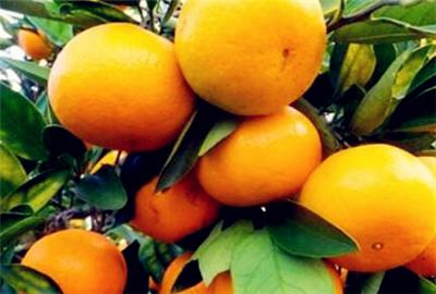橘子是什么地方的特产?几月份成熟上市?有哪