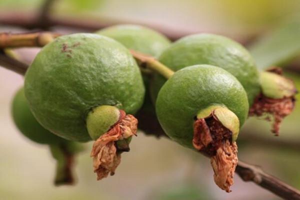 番石榴的籽可以吃吗?怎么吃?吃番石榴籽有什么好处?