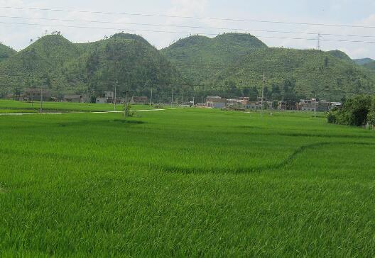 2018年种植水稻怎样提高生产效益?2018年水稻种植前景及价格行情分析