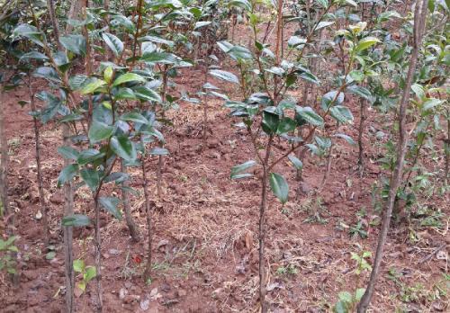 茶花树苗多少钱一棵?茶花的栽培技术及注意事项