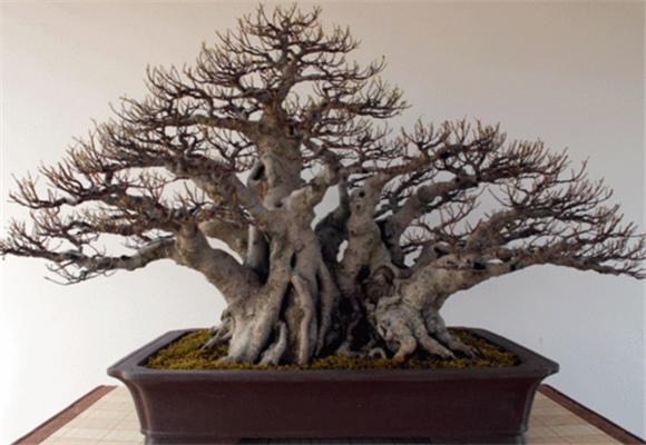 榕树盆景怎么养?榕树叶子发黄的原因分析和处理方法