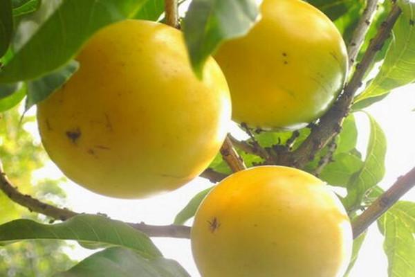 黄晶果多少钱一斤?市场前景如何?黄晶果的栽培管理