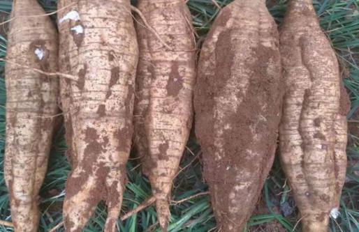 葛根种苗多少钱一株?葛根功效作用 葛根的种植方法