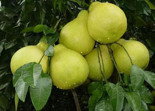 沙田柚产地?沙田柚种几年结果?孕妇能吃沙田柚吗?