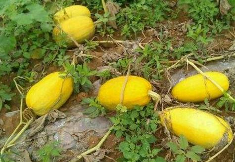 金丝绞瓜价格多少钱一斤?有什么营养价值?怎么做好吃?