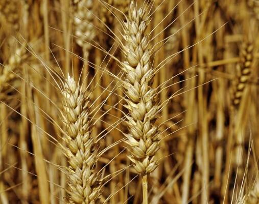 2018年小麦行情如何?2018小麦最低收购价是多少?