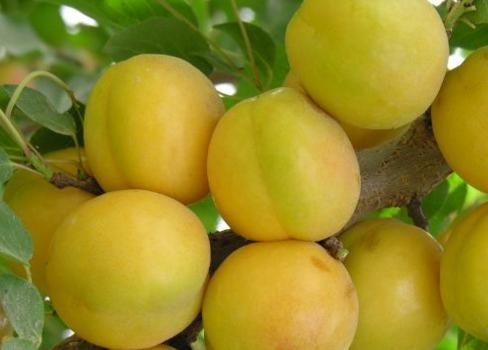 扁杏的形态特征 有哪些营养价值?经济效益怎样?