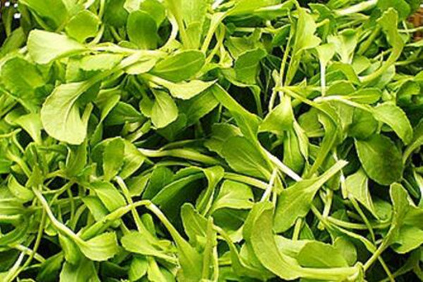 鸡毛菜功效及作用 鸡毛菜阳台盆栽种植方法