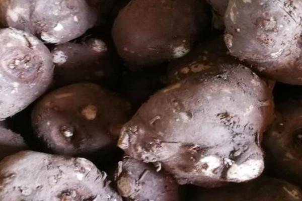 魔芋的种植前景及利润如何?魔芋的种植方法