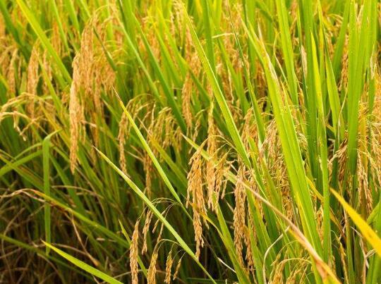 ?水稻怎么种植才赚钱?2018年水稻种植前景及价格行情分析!