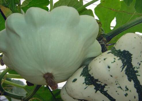 飞碟瓜的营养价值 飞碟瓜栽培技术