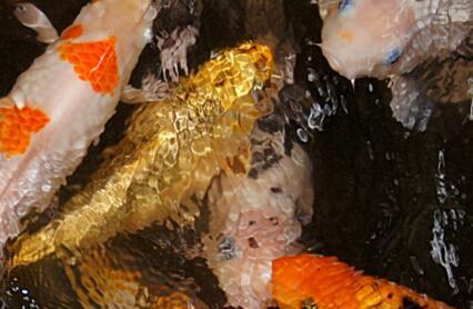 黄金锦鲤鱼价格多少钱一条?吃什么食物?如何