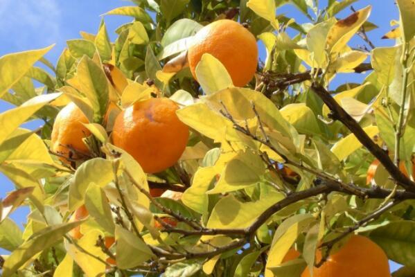 红肉血橙树苗价格多少钱一棵?哪个品种最好?