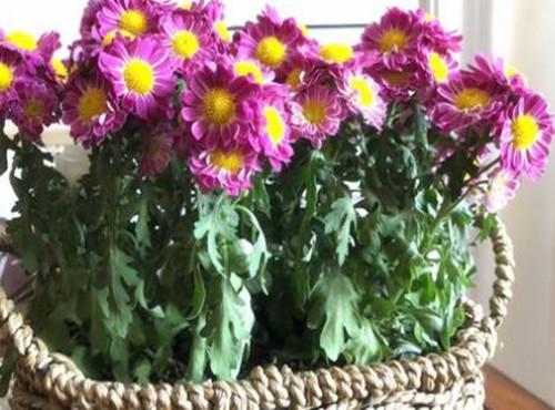 盆栽小雏菊怎么播种育苗?小雏菊主要价值有哪些?