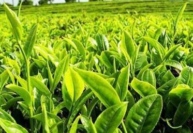 春茶价格良好 2018年首批春茶价格一斤超2000元