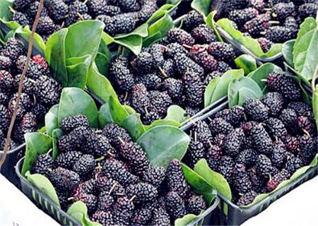 桑葚种植技术及高产要点