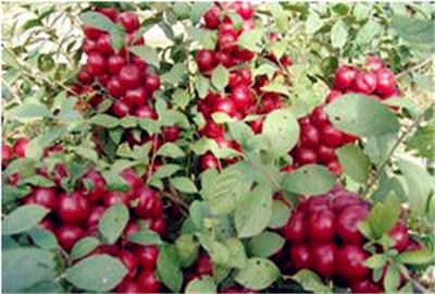 钙果种植前景及亩收入 钙果的栽培技术