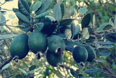 菲油果的vinbet浩博客户端下载前景  菲油果的vinbet浩博客户端下载栽培技术