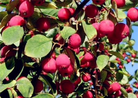 海棠果的主要价值 海棠果的栽培技术
