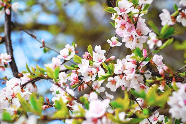 2018年长沙周边可以赏樱花的12个好去处推荐