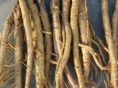 北沙参的功效与作用 北沙参种子价格及种植方法