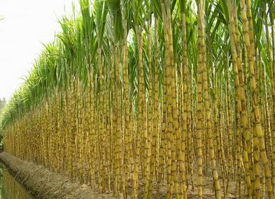 四川甘蔗_甘蔗原产地在印度 中国在北方也有甘蔗产地