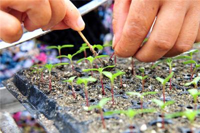 茄子穴盘育苗的技术要点及方法