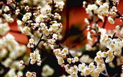 樱桃树通常能活多少年 樱桃树几年才能结果图片