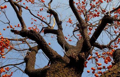 柿子树能嫁接什么果树 新种的柿子树几年才能结果
