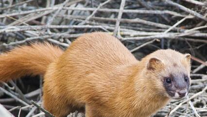 黄鼠狼是国家保护动物吗?