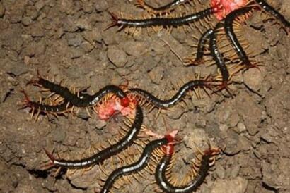 人们熟知的昆虫蚰蜒 蜈蚣 红虫 天牛有毒吗