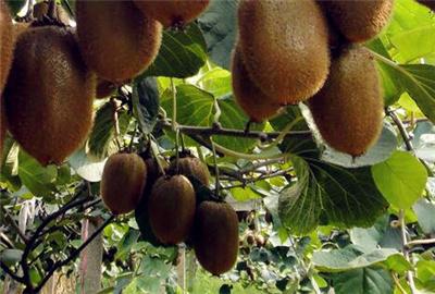 新疆气候无常,也能种猕猴桃吗?