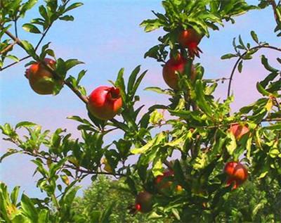 北京庭院适合种植什么野生果树?