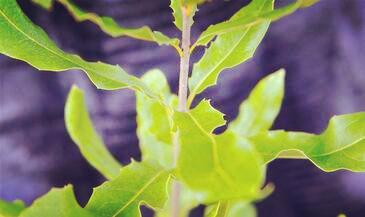 夏威夷果树长什么样 种植几年后能开花结果