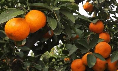 广西农业市场适合种植什么水果?