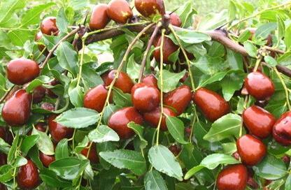 农业科技:红枣树住进光伏大棚