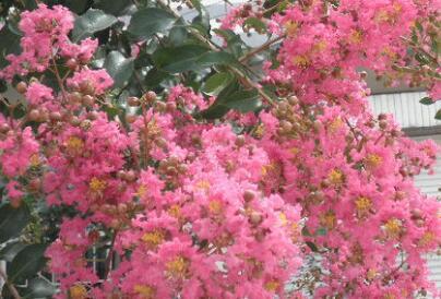 邵阳市树市花是什么?