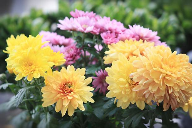 开封市花是什么?