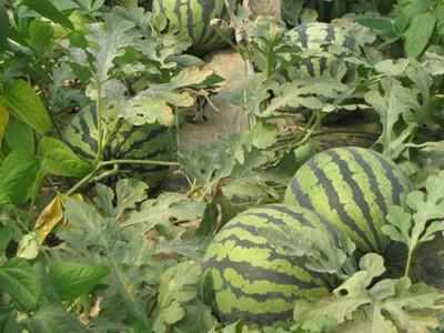 土地流转种西瓜,带动农民增收致富