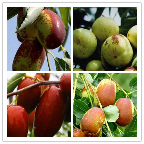 """素有""""塞上江南""""之美誉的宁夏可以种植哪些水果树呢?"""