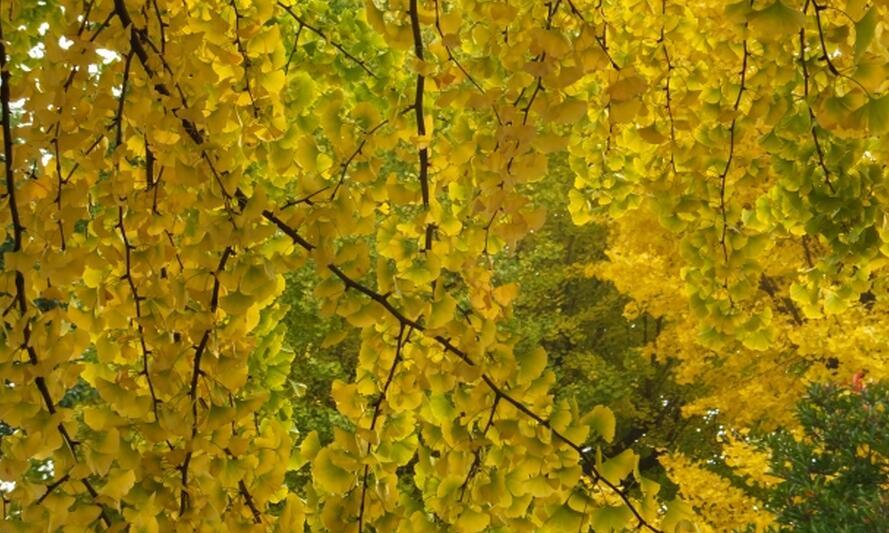 成都市树市花是什么?
