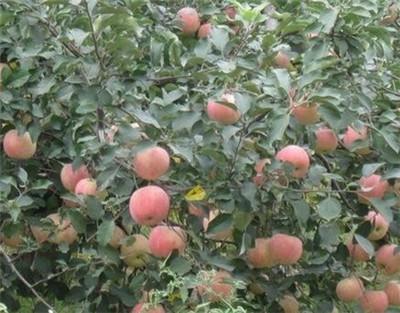 北京气候条件适合种植什么水果树和中药材?